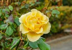 Yellow rose, closeup shot of a rose in full bloom. Royalty Free Stock Image