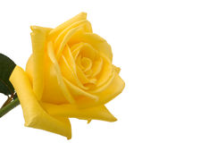 Yellow rose closeup with white stock photography