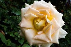 Yellow rose closeup stock photos