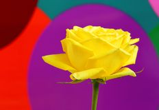 Yellow rose on colorful background Royalty Free Stock Image