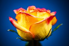 Yellow Rose. Colorful Portrait Of Yellow Rose With Drops Of Drew Royalty Free Stock Photo