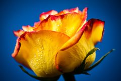 Yellow Rose. Colorful Portrait Of Yellow Rose With Drops Of Drew Stock Photography
