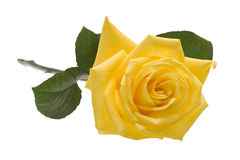 Yellow rose cutout. Yellow rose isolated on white background with clipping path Royalty Free Stock Images