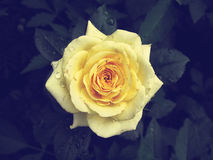 Yellow rose damaged Royalty Free Stock Images