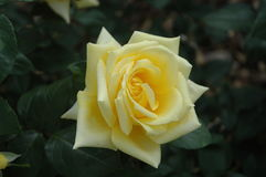 Yellow rose. With dark green leaves Royalty Free Stock Photos