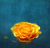 Yellow rose on dark turquoise background royalty free stock images