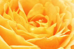 Yellow rose with dew drops close up Royalty Free Stock Photos