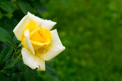 Yellow rose with dew drops Stock Photos