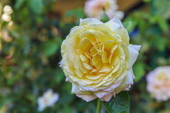 Yellow rose with dew drops in the garden Stock Photos