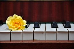 A yellow rose displayed on top of piano keys. A single yellow rose displayed on top of piano keys royalty free stock images