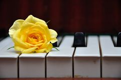 A yellow rose displayed on top of piano keys. A single yellow rose displayed on top of piano keys stock photography
