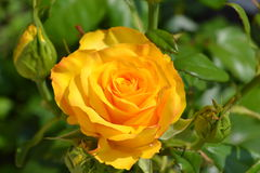 Yellow rose. Drop-down yellow rose bud Royalty Free Stock Images