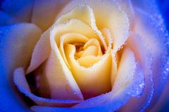 Yellow rose with drops of dew in a blue frame, closeup, backgrou. Nd Stock Images