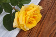 Yellow rose with drops of dew on petals. Royalty Free Stock Photography