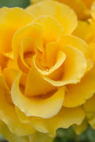 Yellow Rose. Drops of morning dew on the flowers of yellow roses Royalty Free Stock Image