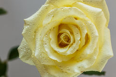 Yellow rose with drops Stock Photos