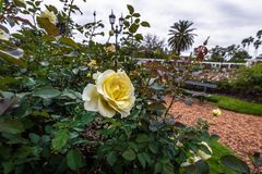 Yellow Rose at El Rosedal Rose Park at Bosques de Palermo - Buenos Aires, Argentina royalty free stock image