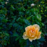 Yellow rose with extensive green back ground royalty free stock photos