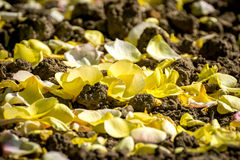 Yellow rose fallen petals Royalty Free Stock Photography