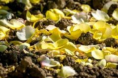 Yellow rose fallen petals Stock Images