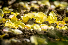 Yellow rose fallen petals Stock Photography