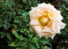 Yellow rose in the field stock photography