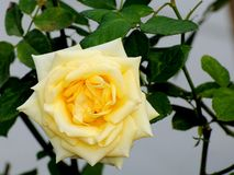 Yellow rose in Florida Royalty Free Stock Photography