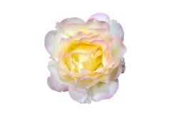 Yellow rose flower Stock Image