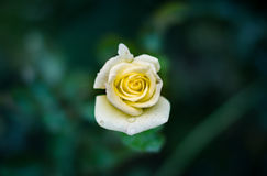Yellow Rose Flower Stock Photography
