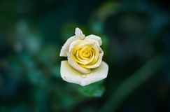 Yellow Rose Flower Stock Image