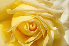Tea rose flower as close up Stock Photos