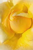 tea rose flower as close up Stock Images