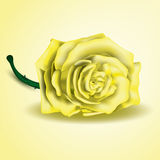 Yellow rose flower as close up. Rose, stem and thorns, illustrated with Illustrator CS and EPS10. Vector with transparency Royalty Free Stock Photo