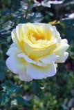 Yellow rose flower. Big blossom yellow rose flower in garden Stock Photo