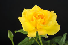 Yellow rose flower Stock Photo