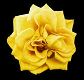 Yellow rose flower, black isolated background with clipping path.  Closeup. no shadows. Royalty Free Stock Photos
