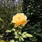 Yellow rose. Flower in bloom Stock Image