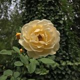 Yellow rose. Flower in bloom Royalty Free Stock Photography
