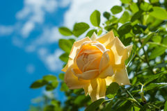 Yellow rose flower on blurred of blue sky background. Royalty Free Stock Images