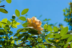 Yellow rose flower on blurred of blue sky background. Stock Photos