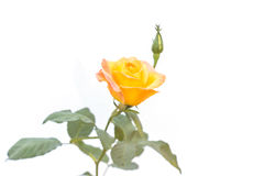Yellow rose flower on branch and leaf isolated on white Royalty Free Stock Image