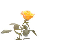 Yellow rose flower on branch and leaf isolated on white Royalty Free Stock Photography