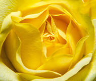 Yellow rose flower close up, texture. Stock Photo