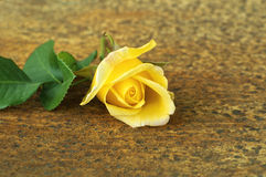 Yellow rose flower. Royalty Free Stock Photos