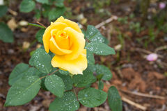 Yellow rose flower Royalty Free Stock Photography