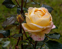 Yellow rose flower. Yellow flower in the garden Stock Images