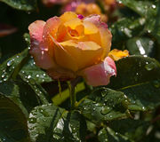Yellow rose flower. Yellow flower in the garden Royalty Free Stock Images