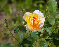 Yellow rose flower. Yellow flower in the garden Royalty Free Stock Photography