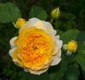 Yellow rose flower. Yellow flower in the garden Stock Photos