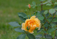 Yellow rose flower. Yellow flower in the garden Stock Photo